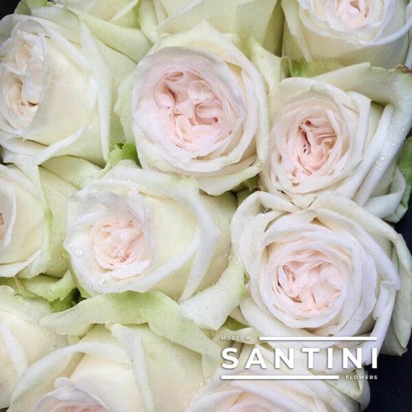 Букет из 35 белых пионовидных роз White O'Hara